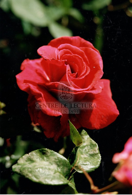 LIIè Concurs Exposició Nacional de Roses